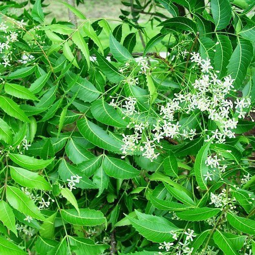 Ayurvedic Medicine Neem and Neem Oil for Psoriasis